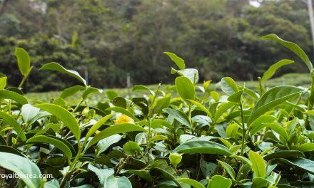 Descubriendo el té oolong Oriental Beauty