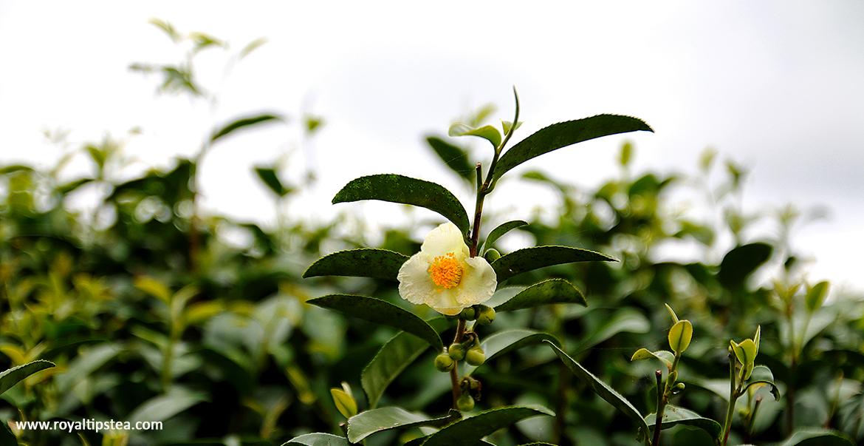 camellia sinensis planta del te