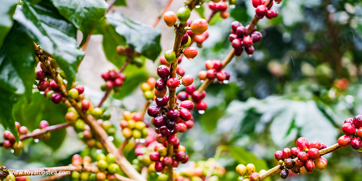 coffea arabica planta del cafe