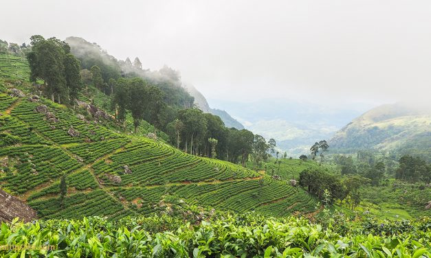 A Guide to Ceylon Tea Tastes and Growing Regions
