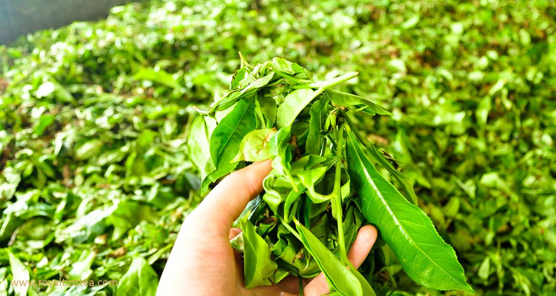 hojas-de-te-cosechados-para-produccion