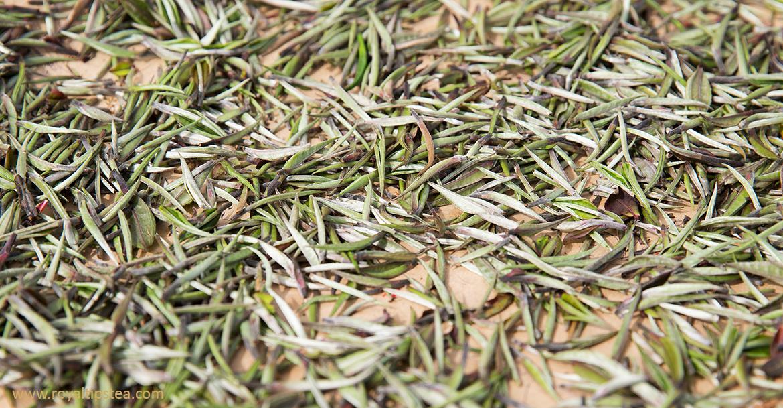 hojas frescas de te blanco elaboracion marchitado secado