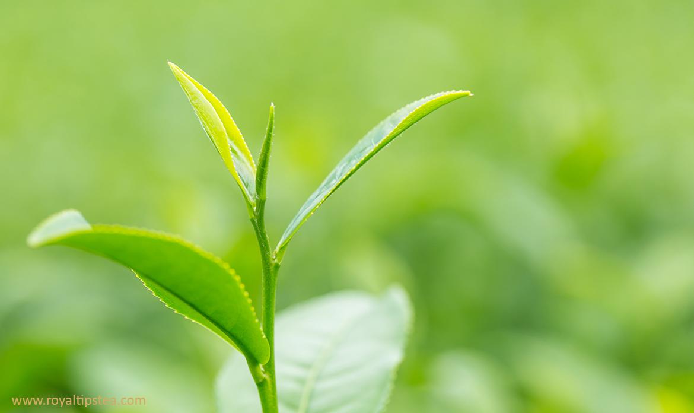planta de te cultivada para hacer te blanco