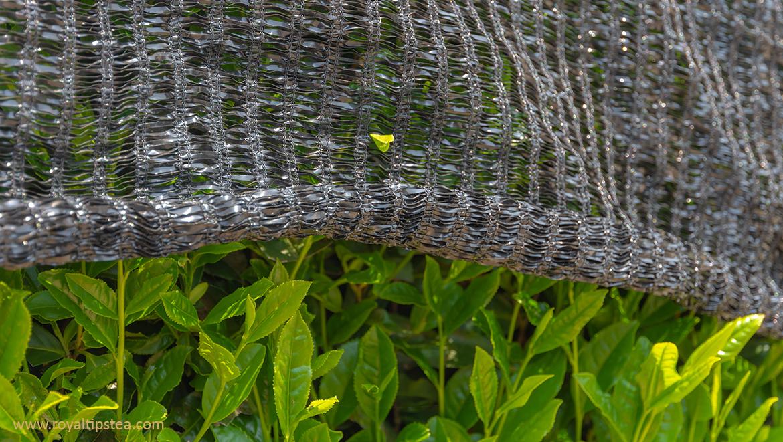 plantas-de-te-cubiertas-para-produccion-gyokuro-karigane