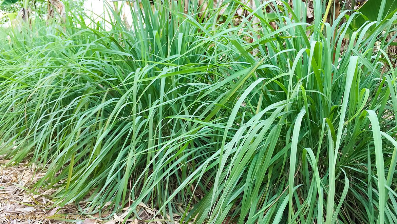 Limoncillo O Lemongrass Conoce Todos Sus Beneficios Blog Royal Tips