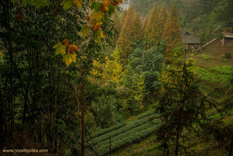provincia sichuan origen de cultivo del te