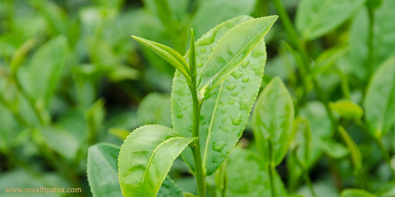Clases de té chino: el mejor té del mundo que marca la diferencia