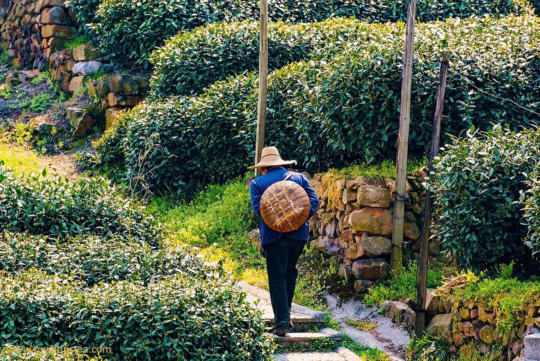zhejiang plantaciones de te
