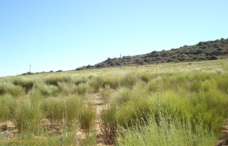 campos de rooibos en cederberg sudafrica