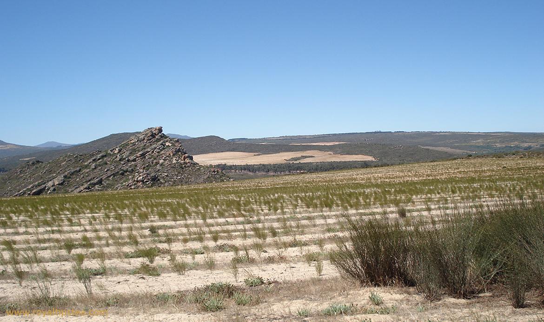 cultivo de rooibos en sudafrica