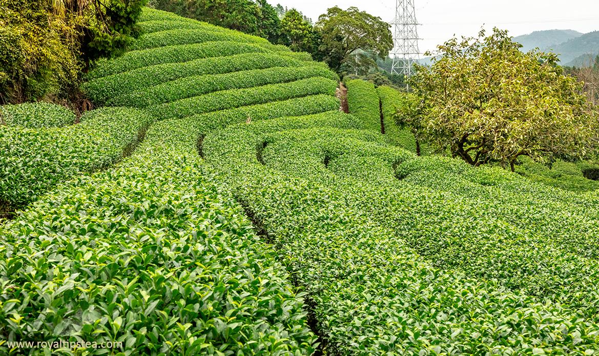 plantaciones del te verde en japon
