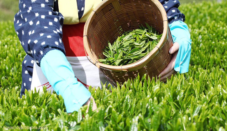 recoleccion del te verde japones a mano