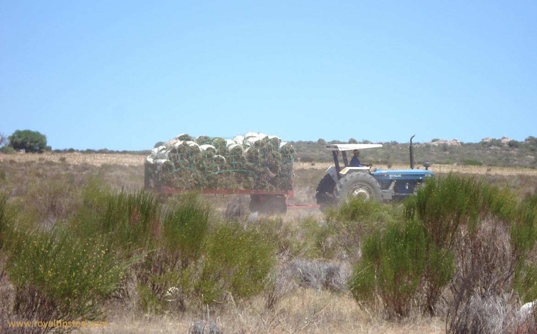 tractor transporta rooibos a la fabrica de produccion