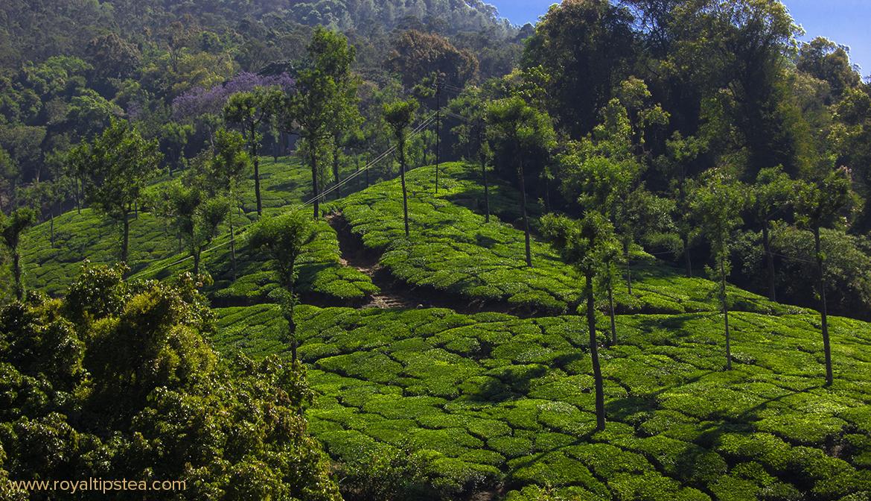 arbustos de camellia sinensis en las colinas de nilgiri india