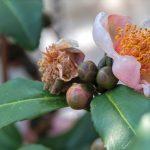 Camellia sinensis: la planta del té y sus variedades