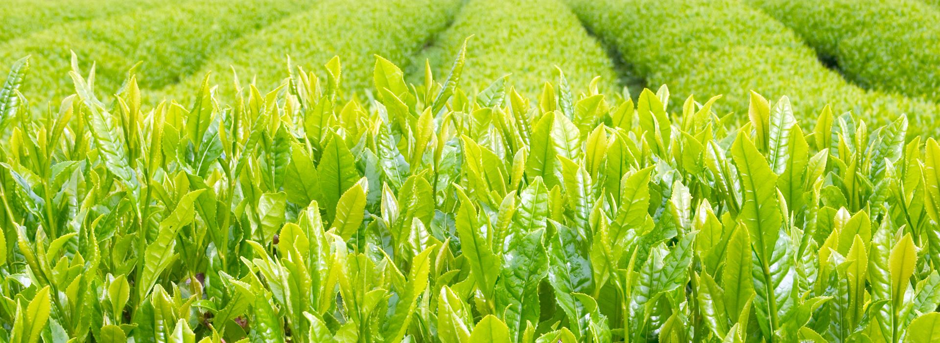 Té verde - tienda de té verde online