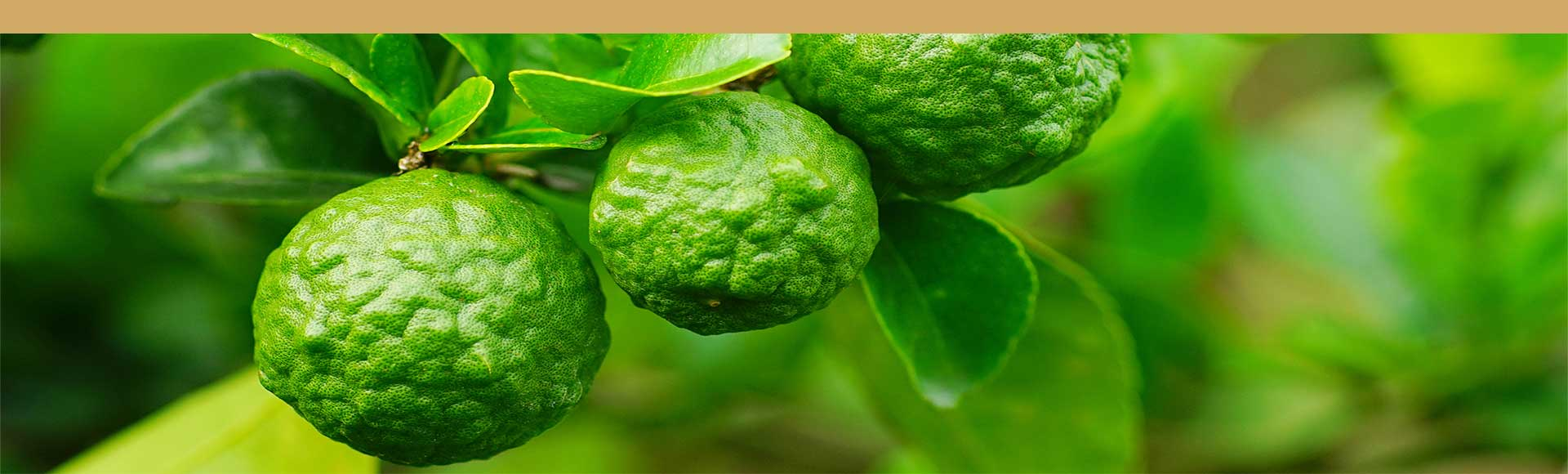bergamot fruit used for earl grey black tea
