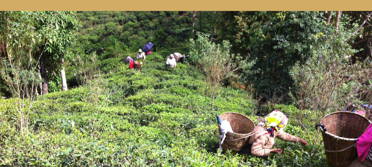 té negro, jardines de te en Darjeeling
