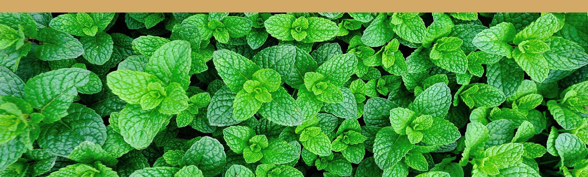 planta de herbabuena