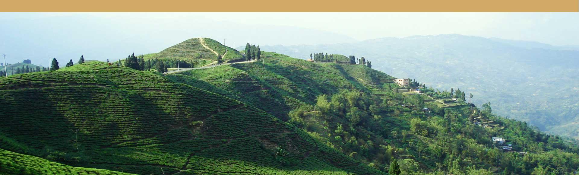 Nepal jardines de te, Himalayan Black