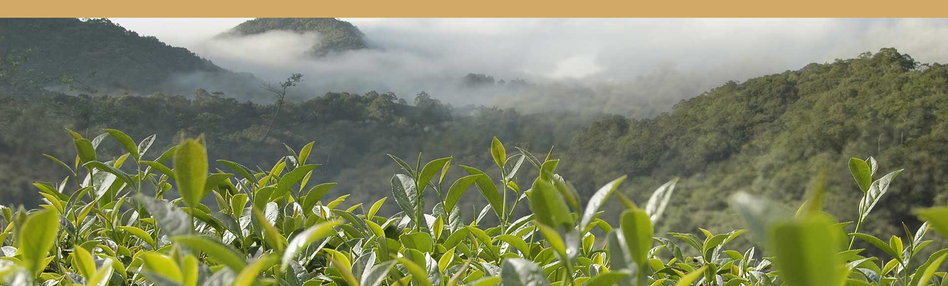 Taiwan plantacion de te en la montaña