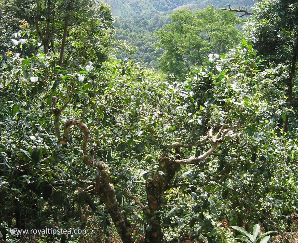 yunnan ancient tea tree for puerh production