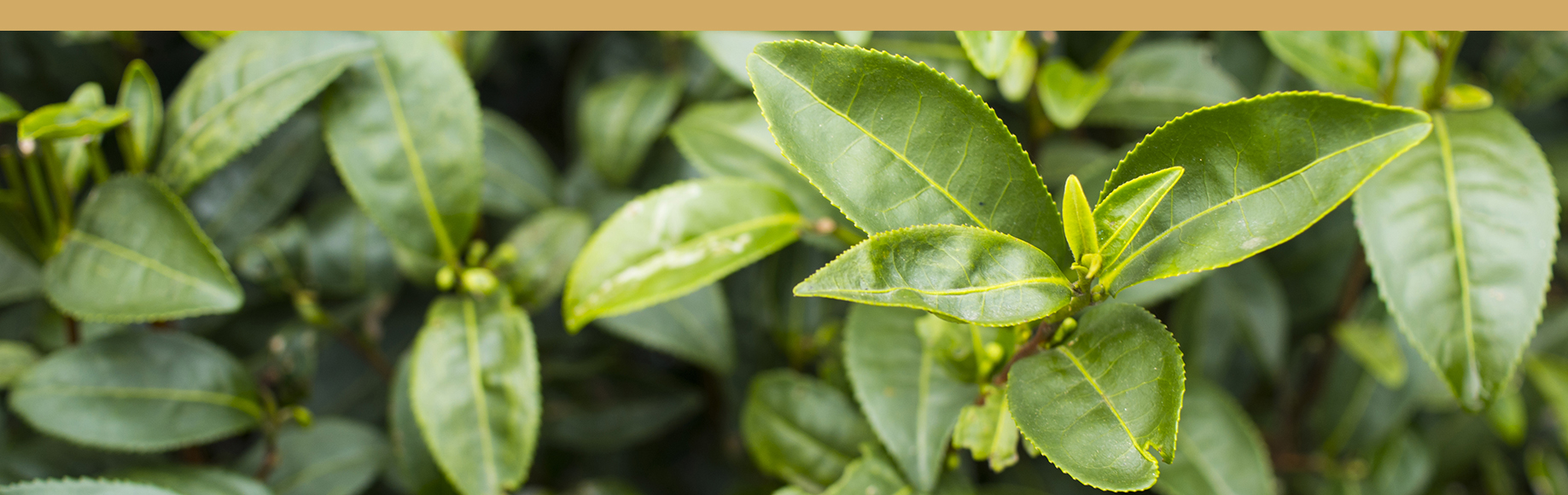 hojas de té oolong
