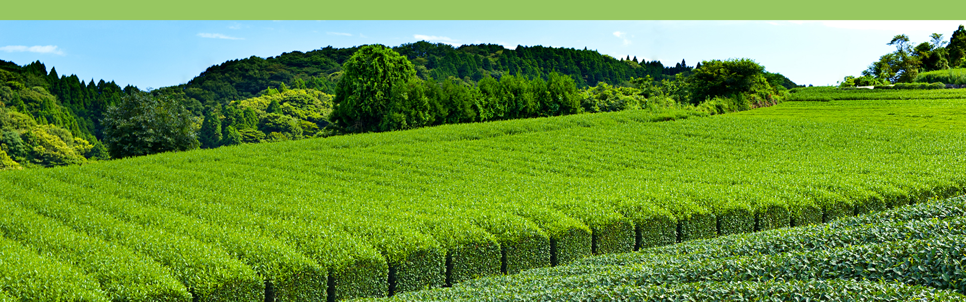 japanese green tea plantations japan