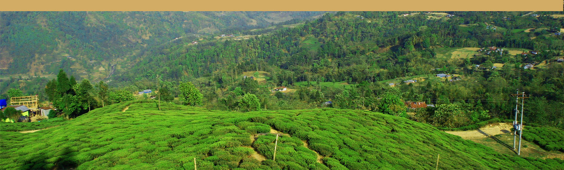 té negro - jardines de té en Nepal