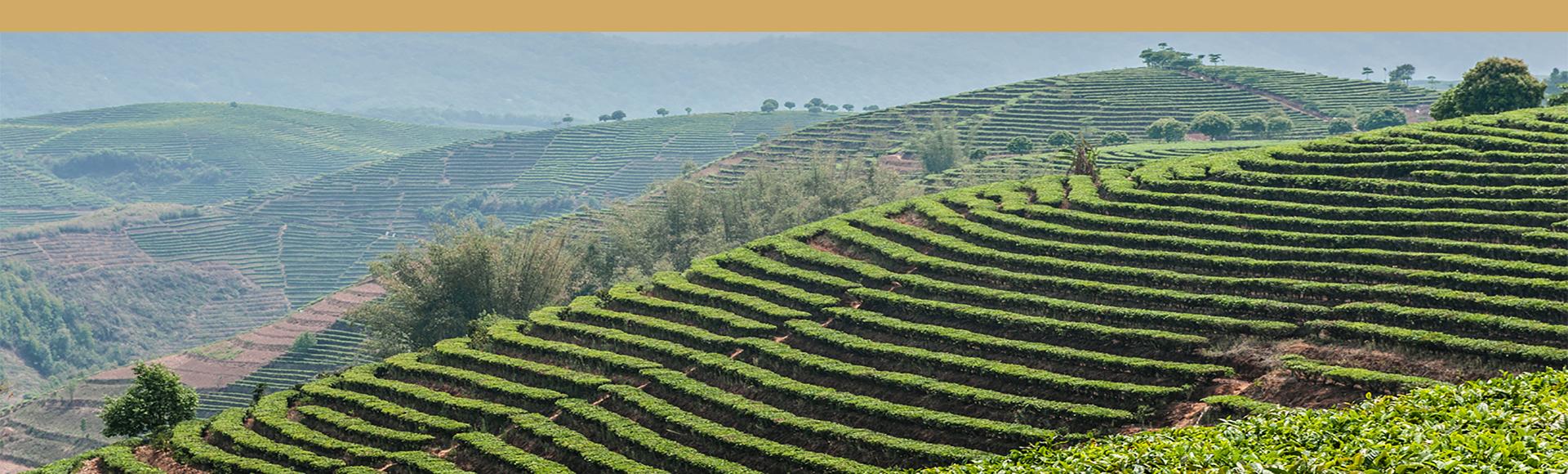 té negro - jardines de te provincia Yunnan China