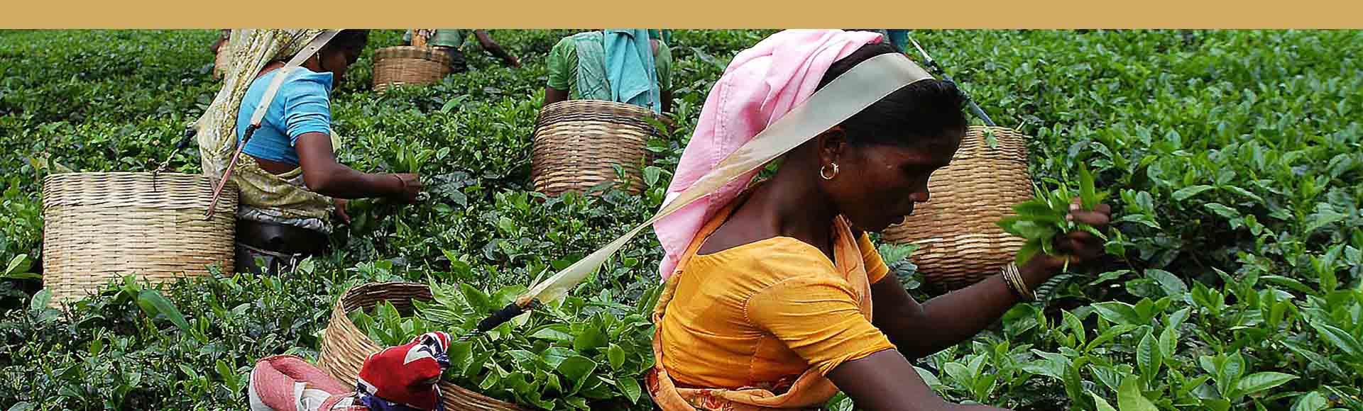 jardines de te Assam