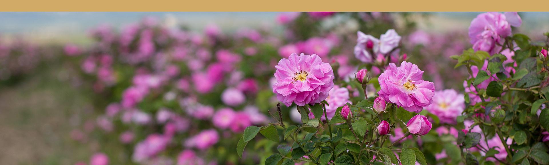 rosa rugosa flor seca para la infusion, Flor de Rosa