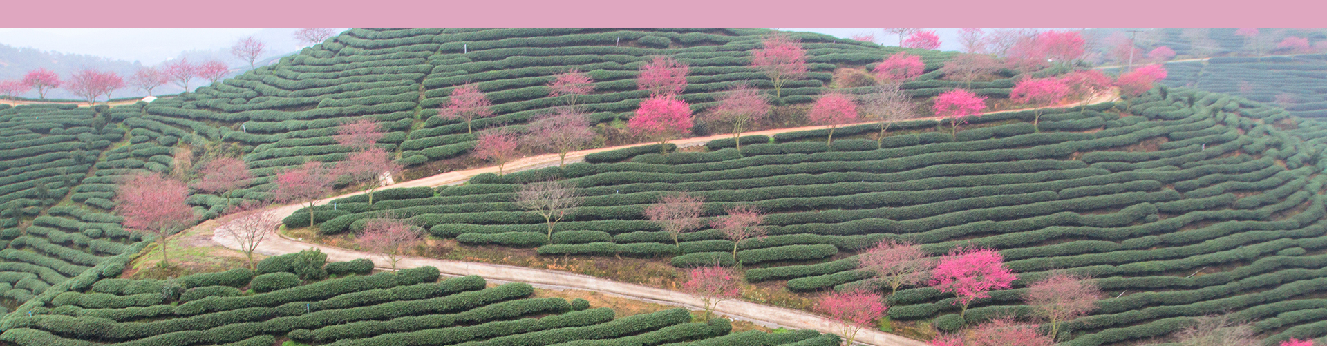 green tea fields and cherry trees