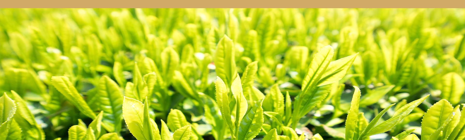 te verde Anji Bai Cha provincia Zhejiang China