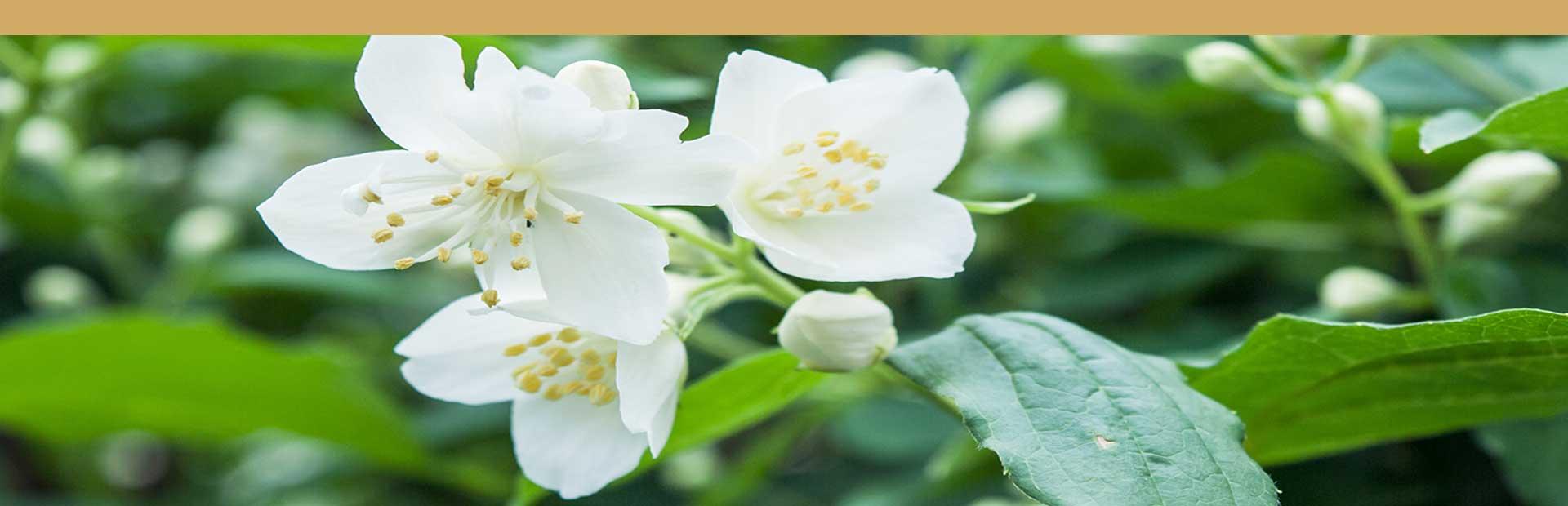 flores de jazmín para la aromatización del té verde