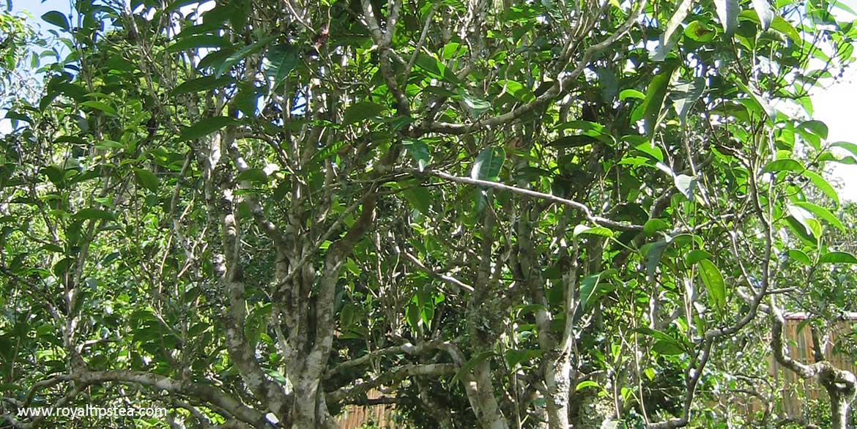wild tea trees in Yunnan
